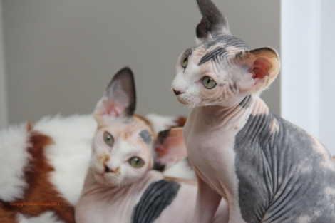 Futures reproductrices Sphynx.