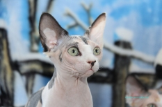 Une future reproductrice Sphynx.