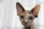 Reproductrice Sphynx.