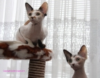 Reproductrices Sphynx.