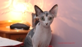 Future reproductrice Sphynx.
