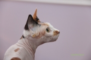 Reproductrice Sphynx