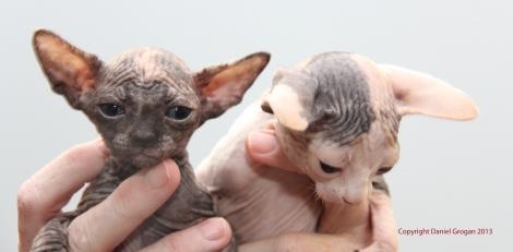 Nous gardons ces deux magnifiques femelles issues de Capucine pour la reproduction.