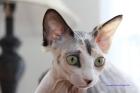 Mystie a eu 5 petits chatons dans la nuit du 30 mars.