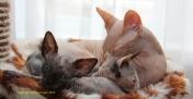 Capucine, Stella (écaille de tortue) et Kalie (calicot).