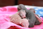 Chatons de Mystie nés dans la nuit du 30 mars 2013.