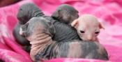 Chatons sphynx nés le 30 mars.