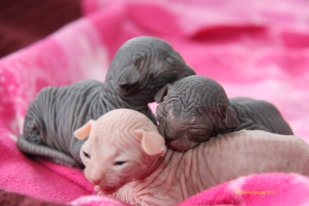 Chatons sphynx mâles nés le 30 mars.