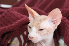Femelle reproductrice sphynx.