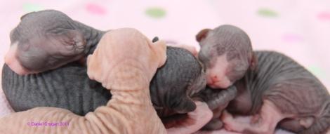 Chatons Sphynx nés le 24 avril.