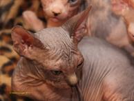 Chatons Sphynx nés le 30 mars