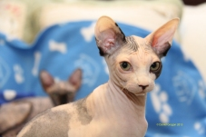 Future reproductrice Sphynx