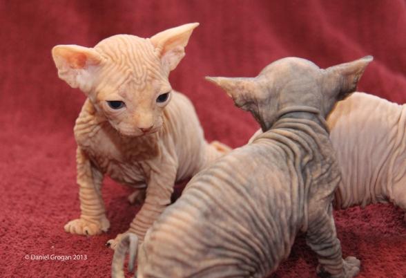 élevage de chats