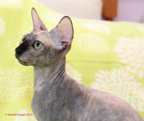 Femelle reproductrice Sphynx