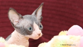 Chatons Sphynx nés le 13 mai 1